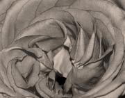 Rose In Sepia